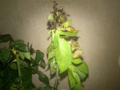 почему желтеют листья у гибискуса