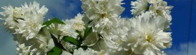 чубушник уход весной