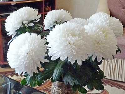 что делать с хризантемами весной