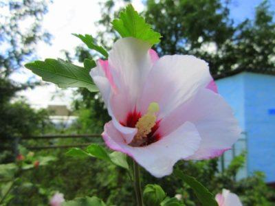 сколько цветет гибискус