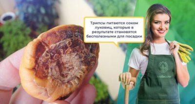 что делать если луковицы гладиолусов заплесневели