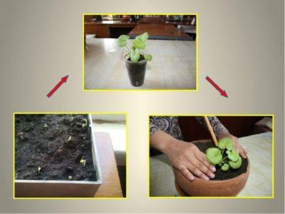 пеларгония из семян в торфяных таблетках