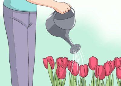 когда сажать тюльпаны летом