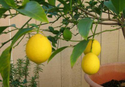 лимонное дерево в домашних условиях уход