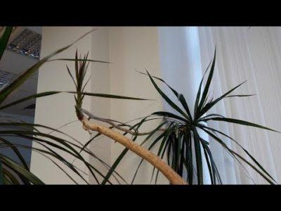 как посадить драцену с корнями