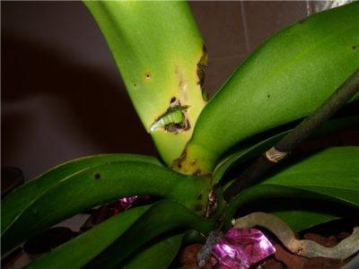 почему у орхидеи опадают бутоны нераспустившиеся причины