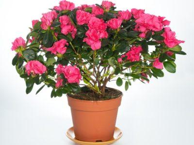 цветы похожие на азалию
