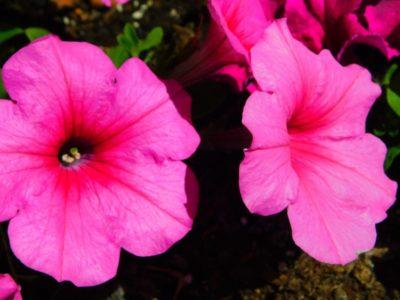 петуния валентина f1 махровая