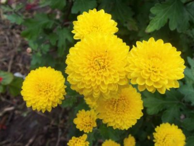 многолетние цветы цветущие в августе