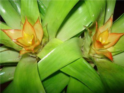 комнатное растение бромелия
