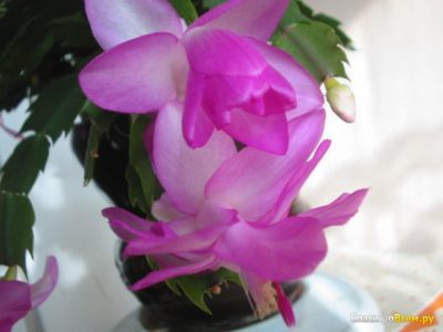 декабрист цветок виды разновидности