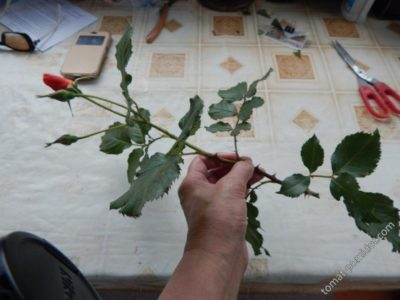 размножение роз летом черенками