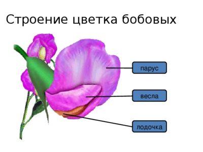 строение цветка астры