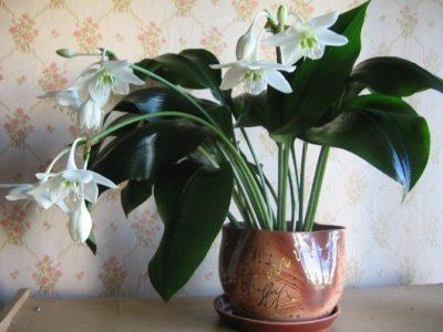 комнатное растение с широкими листьями