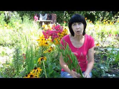 как вырастить рассаду флоксов