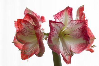 амариллис из семян