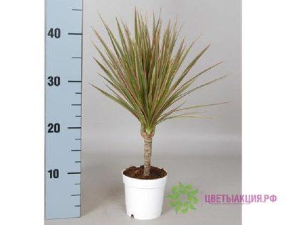 пальма ливистона уход