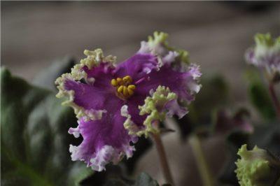 белый налет на цветках фиалки