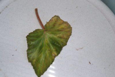 как размножить глоксинию листом