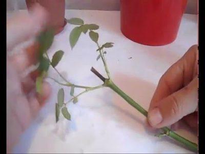 как вырастить розы из черенков подаренных роз