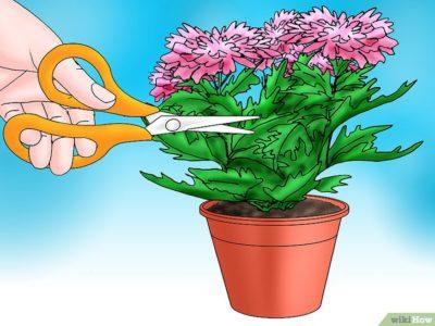 надо ли обрезать хризантемы на зиму и когда