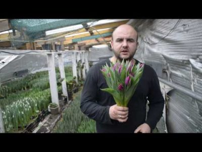 сколько растут тюльпаны в теплице