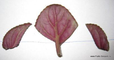 размножение фиалки листом
