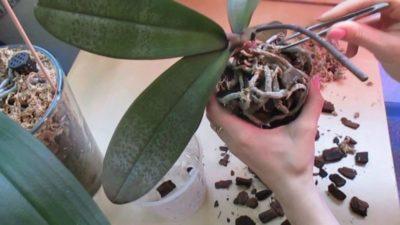 как выращивать орхидеи в домашних условиях