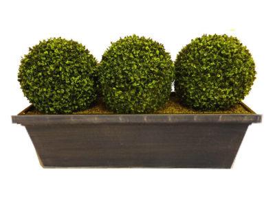 самшит вечнозеленый уход