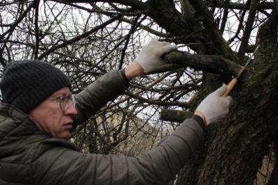 как правильно обрезать плодовые деревья