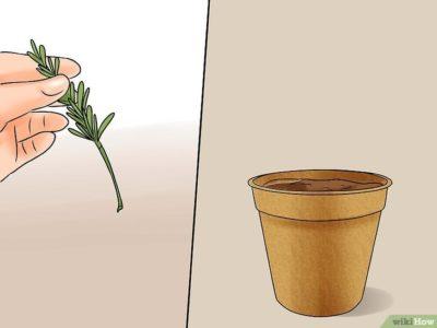 как посадить акацию
