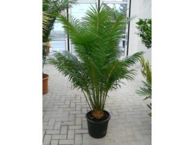 как посадить финиковую пальму