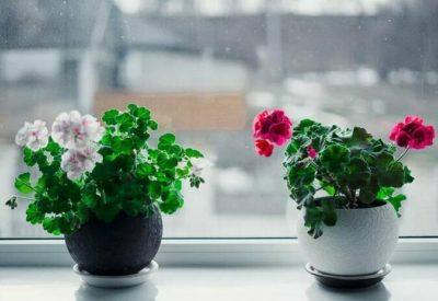 как заставить пеларгонию цвести