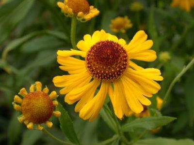цветы гелениум посадка и уход