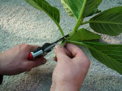 размножение гортензии метельчатой черенками летом