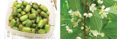 как вырастить актинидию из семян