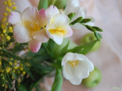 фрезия выращивание и уход в домашних условиях