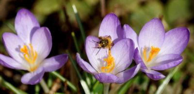 посадка крокусов весной