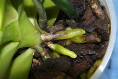 залила орхидею что делать