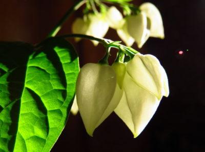 клеродендрум желтеют листья