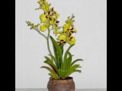орхидея онцидиум уход в домашних условиях