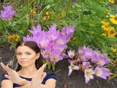 безвременник когда цветет