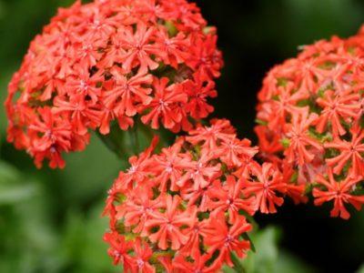 цветы бордюрные многолетние