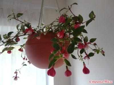 ампельная фуксия выращивание и уход в домашних условиях