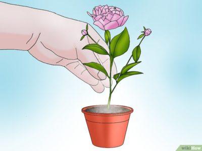 можно ли весной пересаживать пионы