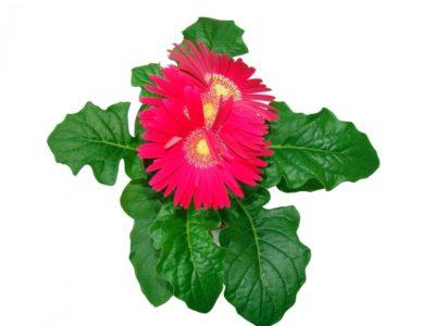 гербера джемсона выращивание из семян