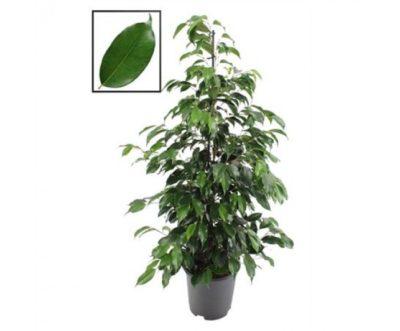 быстрорастущие комнатные растения