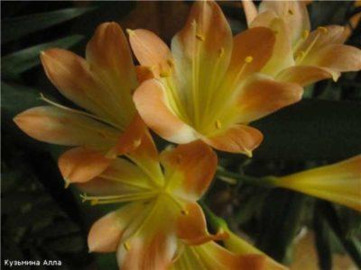 комнатный цветок кливия