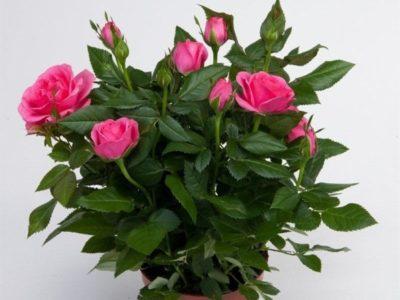 как поливать комнатную розу