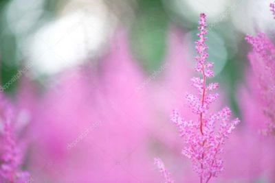 астильба из семян